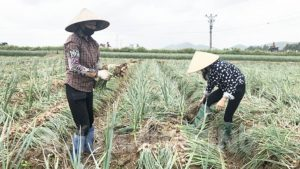 Nông dân xã Hiệp Hòa thu hoạch hành
